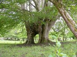 Irish Matrimonial tree on the old Conyngham estate at Summerhill House, Ballybofey, Ireland.