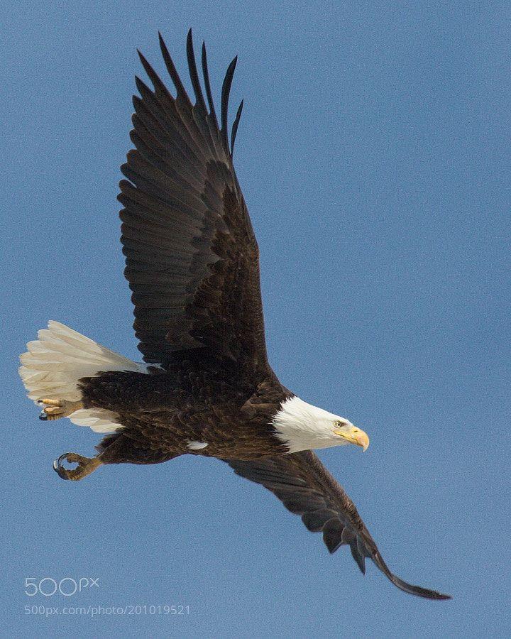 Female bald eagle taking off - Seq 2 by steve-lange