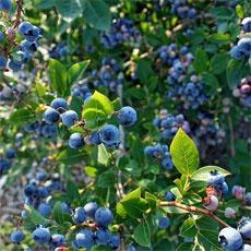 Soil Prep For Blueberry Plant: Lower Soil pH For Blueberries