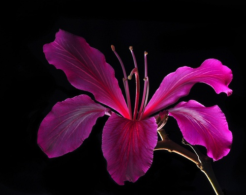Backlit OrchidTree Blossoms