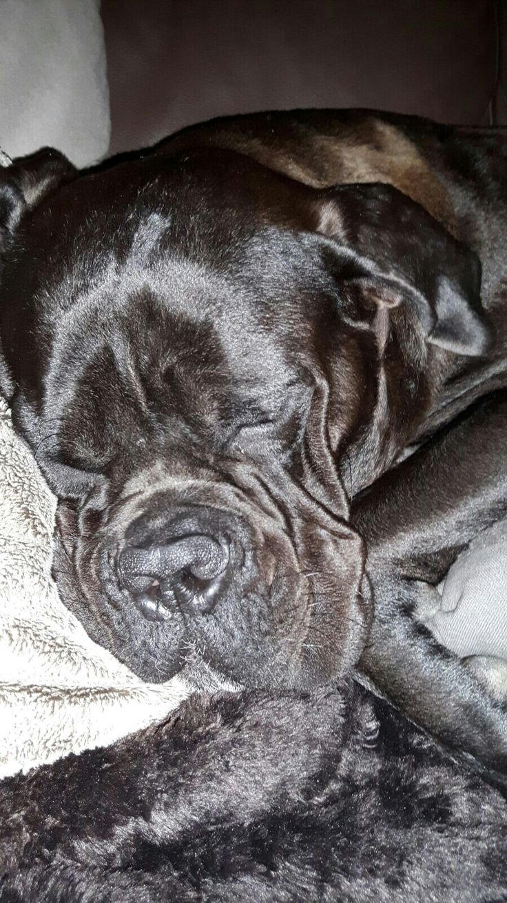 400 best images about Love Cane Corso on Pinterest