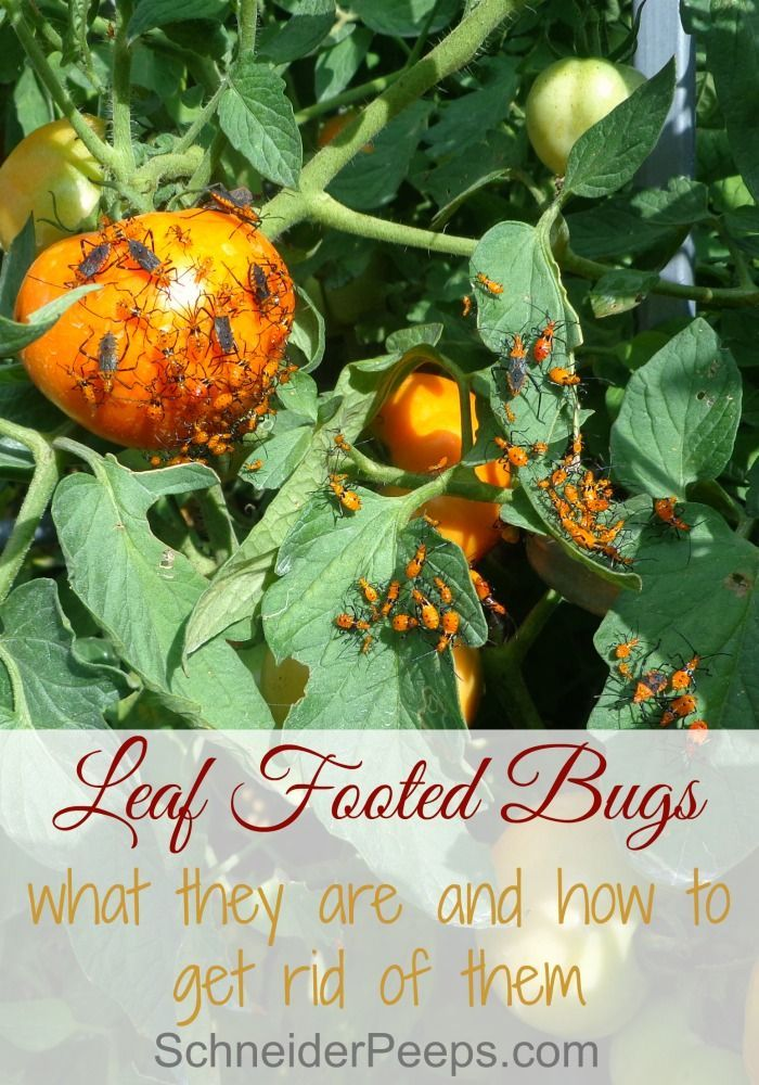 Leaf footed bugs live cycle and prevention