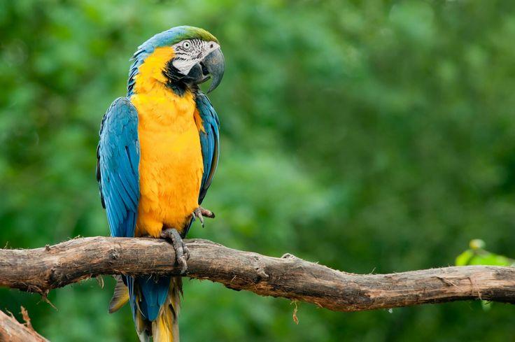 Arará Azul do papo Amarelo. Uma espécie em extinção na Amazônia.