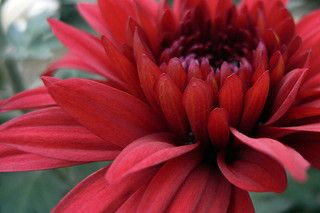 Red Chrysanthemum by Y. Ozu