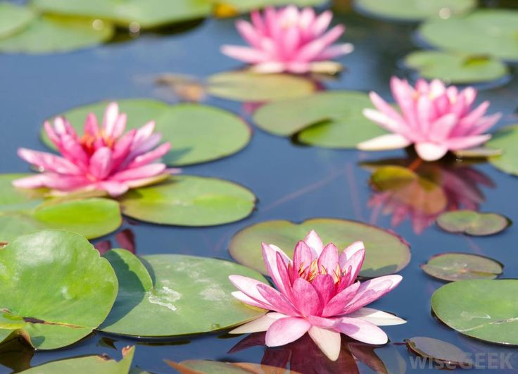 to plant a water lily essay Video: water lily adaptations: lesson for kids the water lily is a floating plant that lives in the water it has a number of adaptations that allow it to thrive in this environment, and we'll .