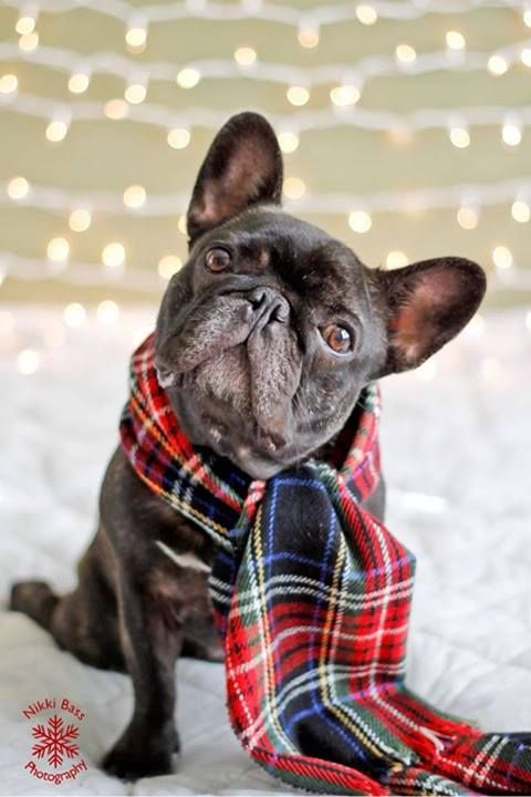 Bundled and ready to go. Love th back paw - typical frenchie sit.