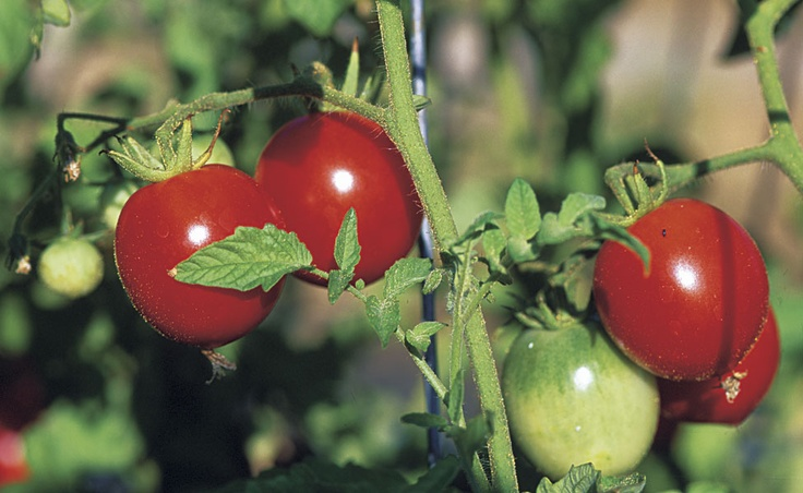 The Road to Healthy, Productive Tomatoes - vegetablegardener.com
