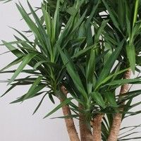 Yucca (palmlelie) verzorging, geschikt voor volle zon