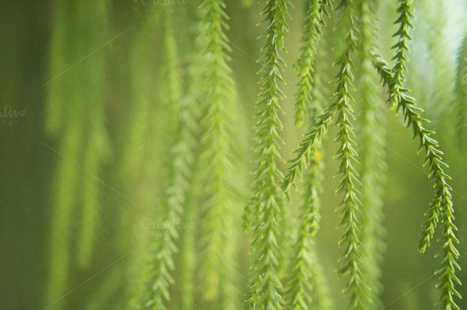 Hanging Evergreen Needles by sylvatica on Creative Market