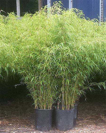 25 Best Clumping Bamboo Ideas On Pinterest Growing