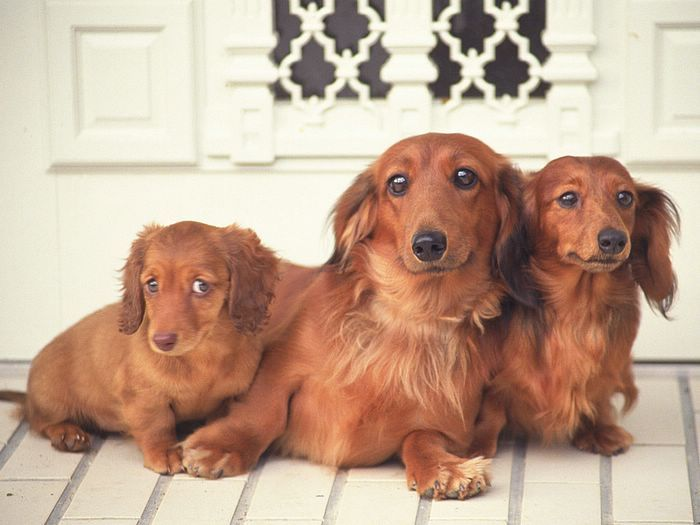 Lovely Puppy Portraits - Three Miniature Dachshund  Lying on floor....the puppy looks just like my nater.