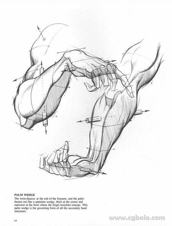 best 25  arm anatomy ideas on pinterest