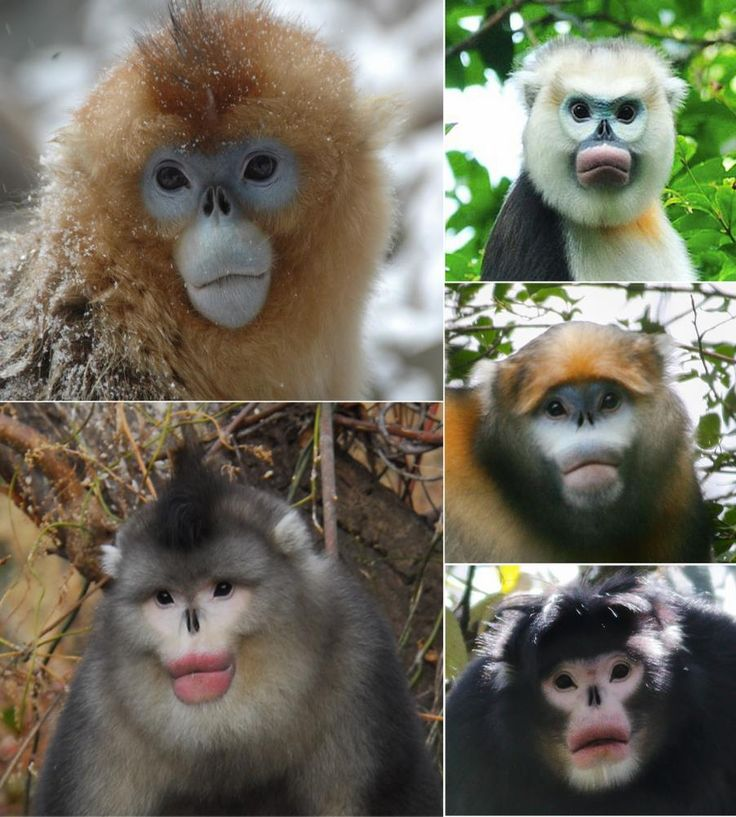 Snub-nosed moneys provide an excellent example of adaptive radiation and display uncommon ecological adaptations. They live along an elevation gradient from near sea level to beyond 4500 m. Habitats differ according to elevation, and monkey's behaviour and ecology vary accordingly. R. avunculus are endemic to northern Vietnam, and found in subtropical forests on steep karst limestone. They are completely arboreal.