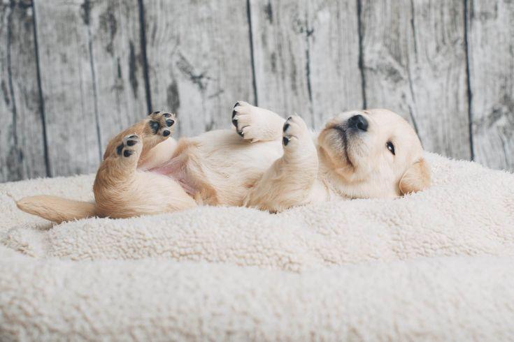 """Labrador Retriever Pup ~ Classic """"Baby Pup"""" Look"""