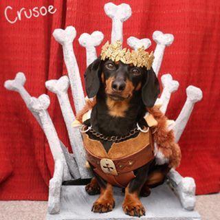 E este, que cansou de ser um salsicha e agora é um Lannister? | 15 cachorros que cansaram de ser salsichas