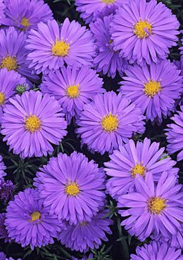 Aster novi-belgii 'Lady In Blue', Michaelmas daisy - hardy perennial, full sun, well-drained soil, height 129cm, spread 90cm, can be divided