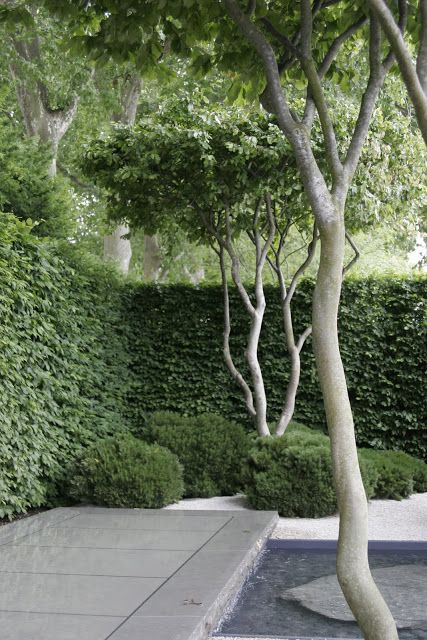 sculptural pale multi stemmed Parrotia Persica trees against a clipped hedge | Luciano Giubbilei Laurent Perrier Garden at Chelsea 2011