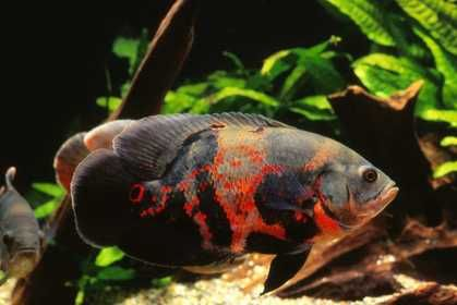 1000 images about oscar fish on pinterest bahia for Clove oil fish