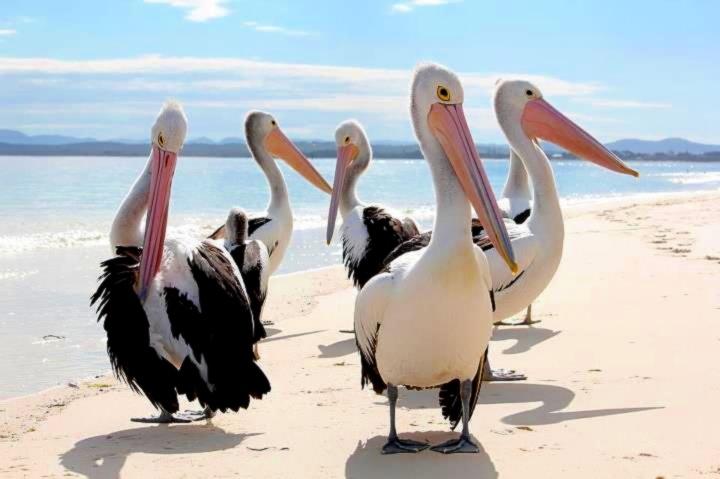 Pelikans at Shoal Bay, Port Stephens, NSW --- by Chamindra De Silva.