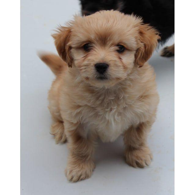 Billie Small Female Maltese X Poodle X Shih Tzu Mix Dog In Maltese Shih Tzu Mix Breed Information Casamalshi Maltese Sh In 2020 Shih Tzu Shih Tzu Maltese Mix Puppies
