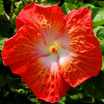 best hibiscus images on, Beautiful flower