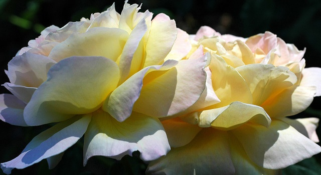 Passion for Roses by **Mary**, via Flickr                                                                                                            Passion for Roses             by        **Mary**      on        Flickr