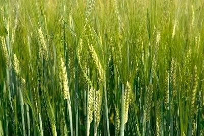 How to Grow Barley