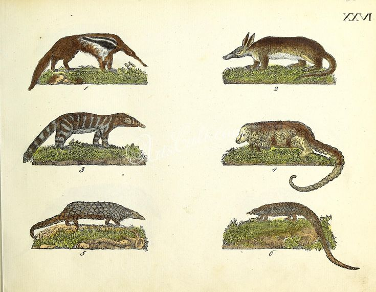 mammals-05303 026-myrmecophaga jubata, Southern Tamandua, Silky Anteater, Chinese Pangolin, Long-tailed Pangolin or Black-bellied Pangolin or Attadillo or Gahlah, nasua subfusca ArtsCult.com Artscult ArtsCult vintage printable public domain 300 dpi commercial use 1800s 1700s 1900s Victorian Edwardian art clipart royalty free digital download picture collection pack paintings scan high qulity illustration old books pages suppl