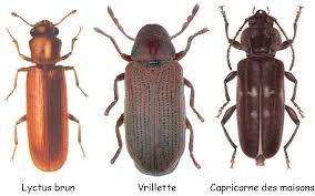 """Résultat de recherche d'images pour """"insectes xylophages"""""""