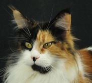 Maine Coon, Black Torti Solid & White (f 03). Nefertari Nanu of the White Witch