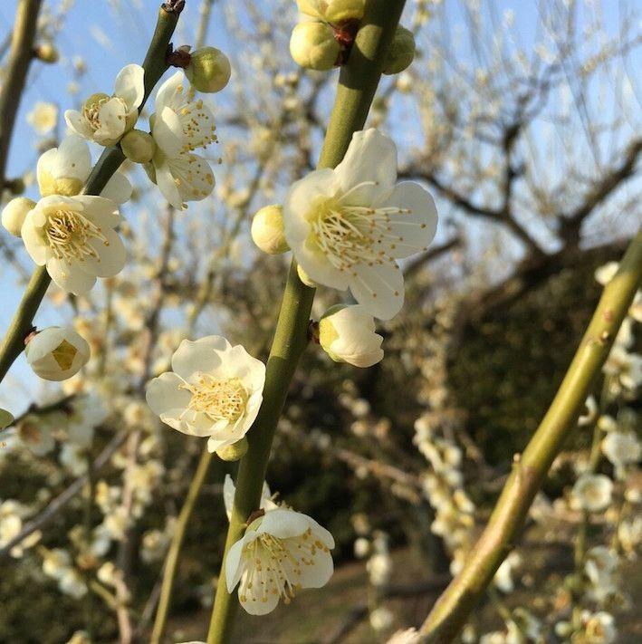 梅の花と花嫁さん_5824.jpg
