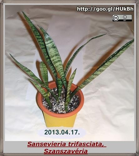 Sansevieria trifasciata, Szanszavéria