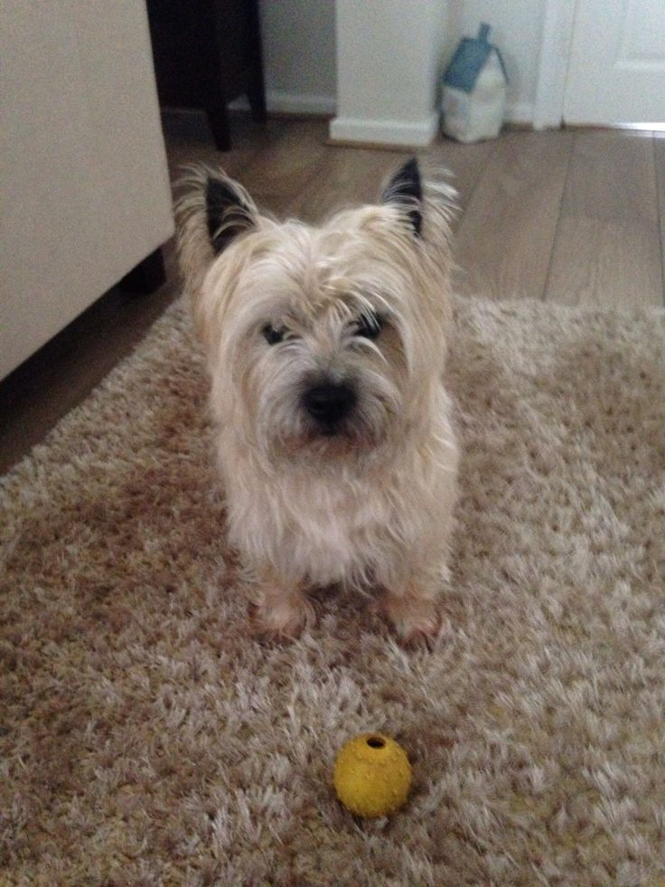 Top Cairn Terrier Ball Adorable Dog - 594e5aff379f9093afb20f975be24468--cairns-cairn-terriers  Snapshot_43848  .jpg