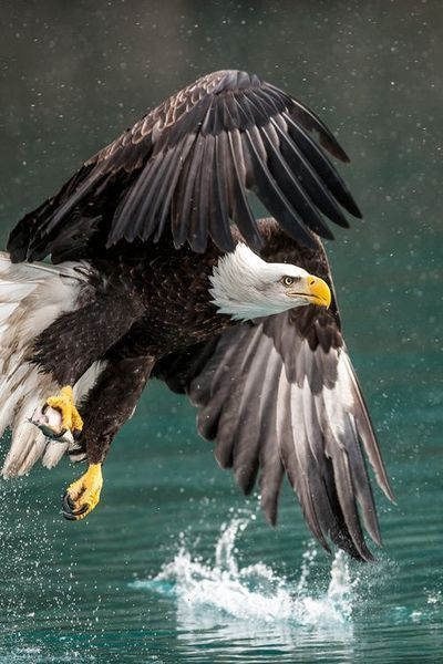 Bald Eagle -- An eagle's eye is almost as large as a human's, but its sharpness is at least four times that of a person with perfect vision.