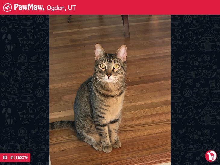 Leo Lost Cat In Ogden Ut In 2020 Lost Cat Losing A Pet Tabby