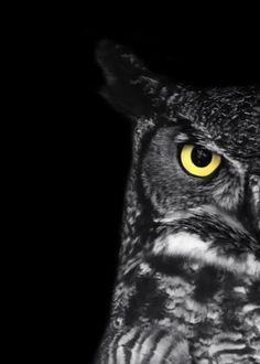 """Foto de búho Cornudo - """"Mariquita"""" - 5 x 7 blanco y negro pájaro fotografía grabado - arte Animal mínimo - fondo negro - regalo menores de 10"""