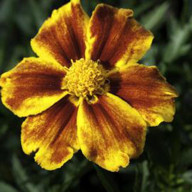 The French marigold is one of several whitefly-resistant flowers.