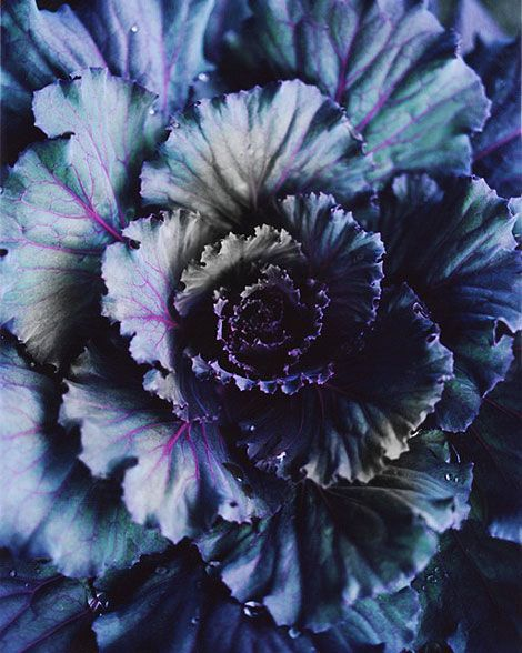 .Beautiful Flower, Inspiration, Bloom Magazines, Flora, Colors, Purple Cabbages, Plants, Blue Flower, Colours Palettes