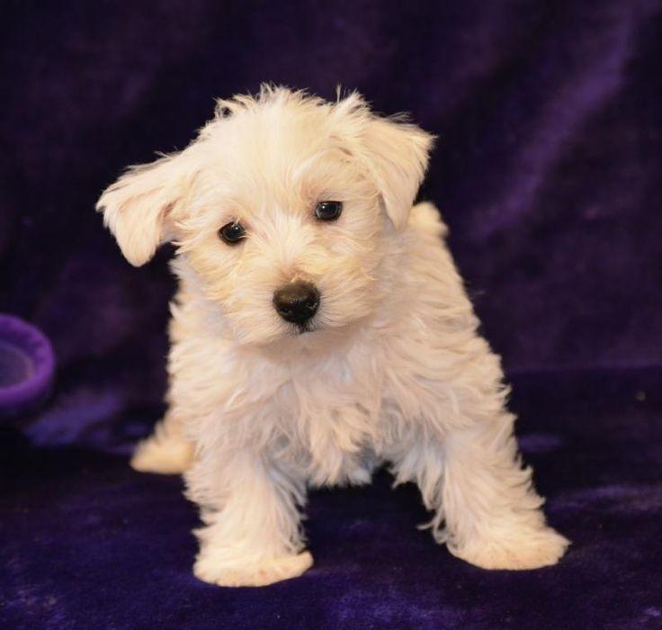 Westie Puppies - Pedigree Puppies For Sale