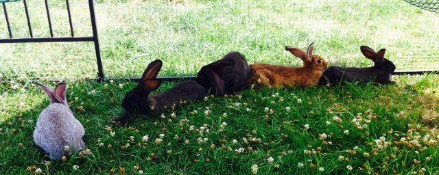 Rabbits,  (Swans Riverside Manor, Kiermusy, Poland)