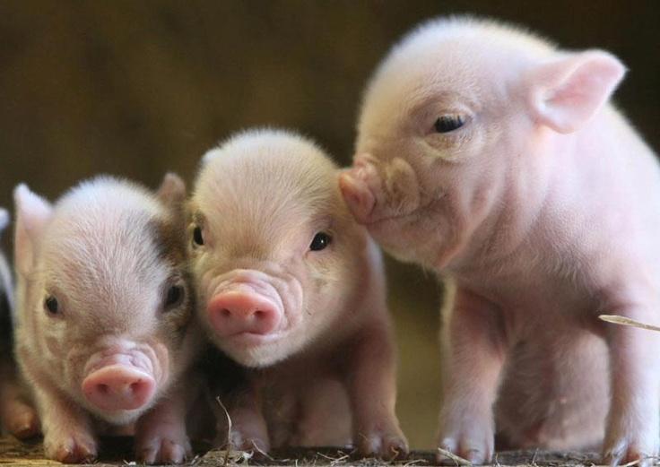 Three Sweet Pink Piglets