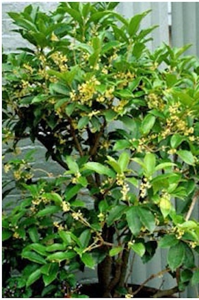 Tea olive tree springtime in carolina pinterest for Olive plant care