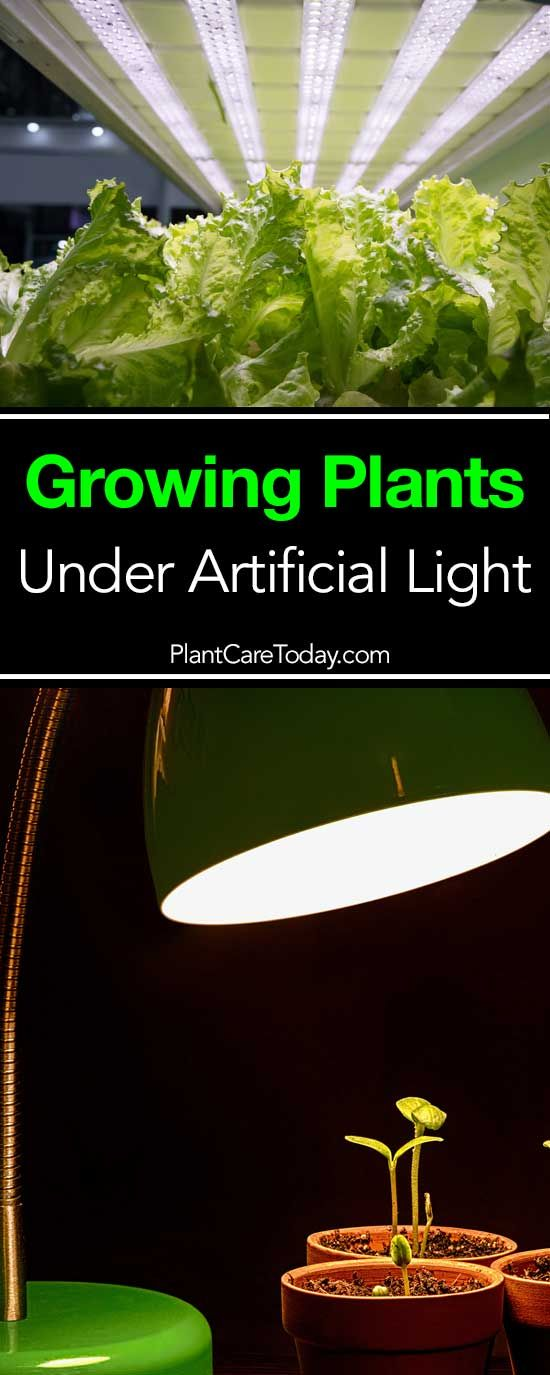 Growing plants under artificial light can be fun. This artcile helps homeowners learn more about plants light needs, supplemental light [LEARN MORE]