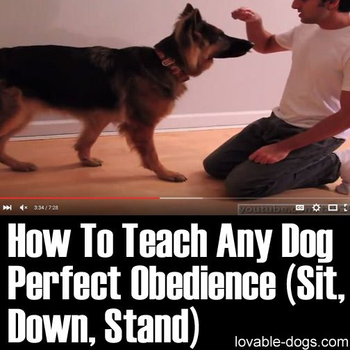 How To Teach Any Dog Perfect Obedience (Sit, Down, Stand) 	►►	http://lovable-dogs.com/how-to-teach-any-dog-perfect-obedience-sit-down-stand/?i=p