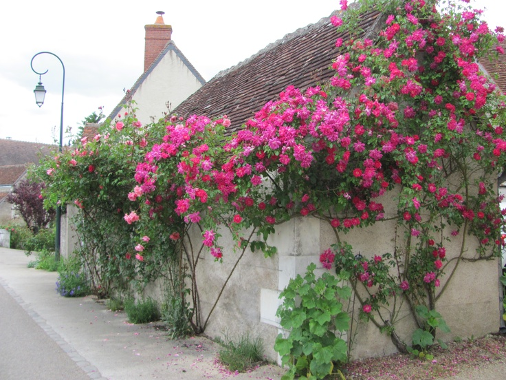 beautiful climbing roses climbing rambling roses. Black Bedroom Furniture Sets. Home Design Ideas