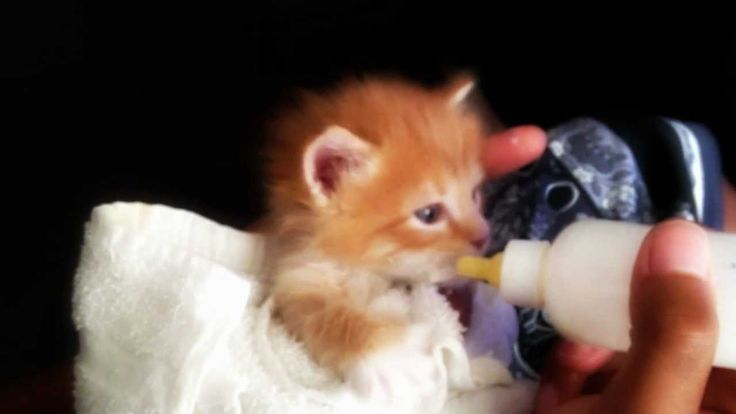 The Cutest Orange Tabby Kitten Bottle Feeding (LongHaired)