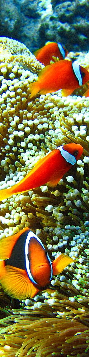 Clown fish city at Apo Island in the Philippines.    Want to learn how to take better photos? Get instant access to my free photography course here:    www.tommyschultz.com/free-digital-photography-lessons/
