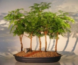 """Bonsai from""""Dude I Want That"""" .com  for $225.00: Bonsai Trees, Forests, Forest Group, Group Metasequoia, Redwood Bonsai, Bonsaitrees, Boy"""