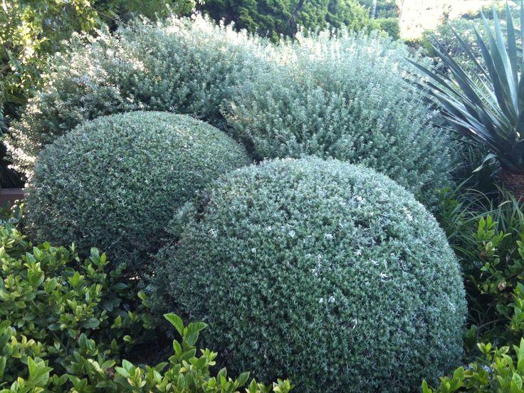 Westringia fruticosa. An aussie native clipped into balls