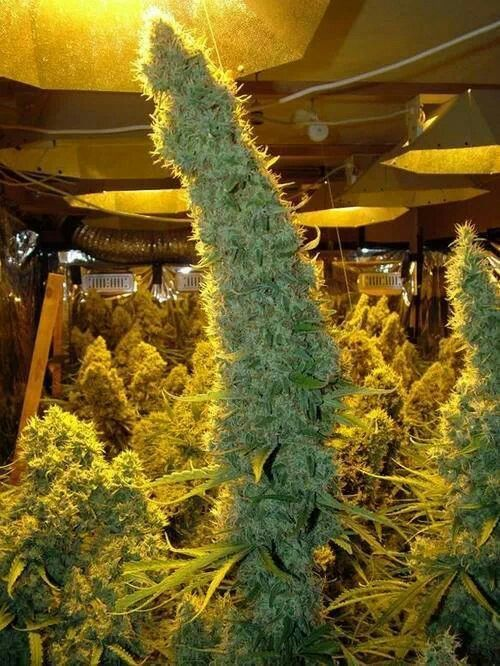 Basement Grow Room Design 8 best irie images on pinterest | knob, cannabis and funny stuff